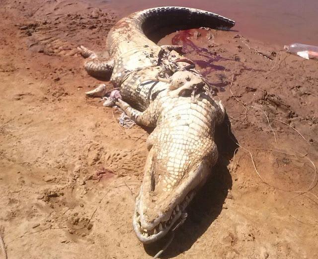 Moradores matam jacaré e encontram restos mortais em seu interior