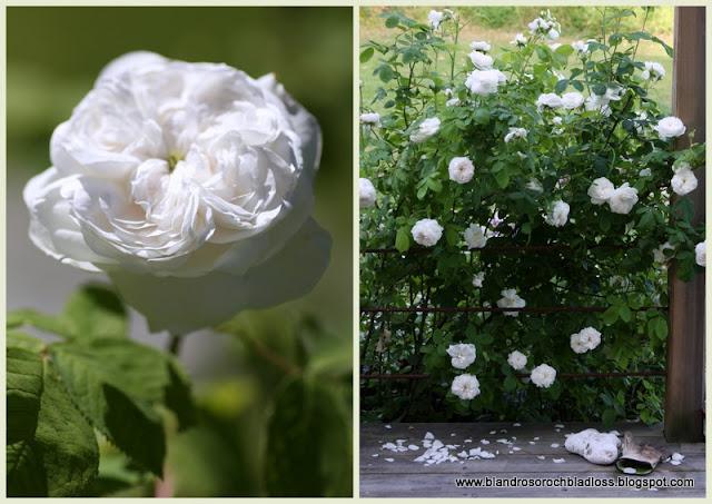 madame hardy rose