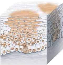 يمكن للهرمونات تحفيز الخلايا الصباغية (الخلايا المنتجة للميلانين) وتحفيز الكلف (رسم تخطيطي)