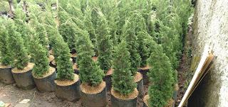Jual Pohon Cemara Lilin - Cemara Tretes - Tanaman Hias Cemara