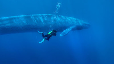 facts about blue whale at animal lovers