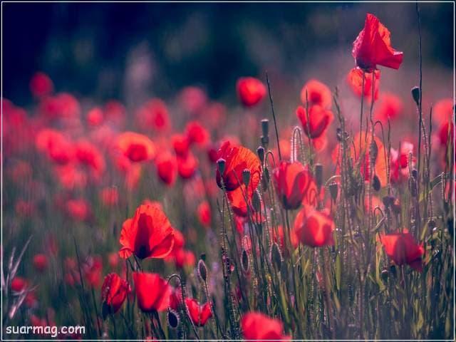 خلفيات ورود جميلة جدا 16 | Beautiful Roses Wallpapers 16