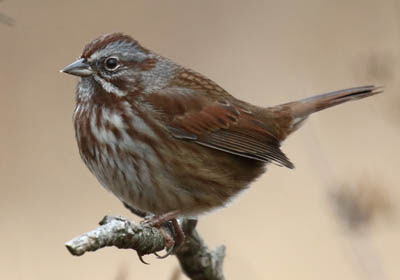 Photo of Song Sparrow on branch