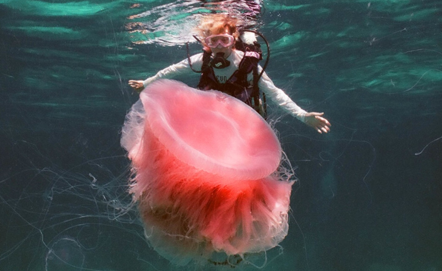 A scuba diver looking at the Pink jellyfish.