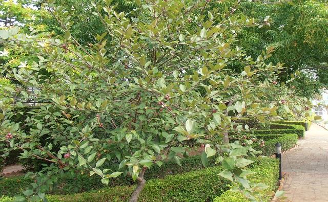 Manzano japonés o de flor, Malus floribunda