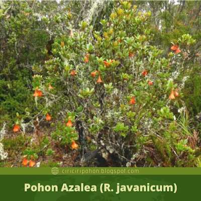 Pohon Azalea (R.javanicum)