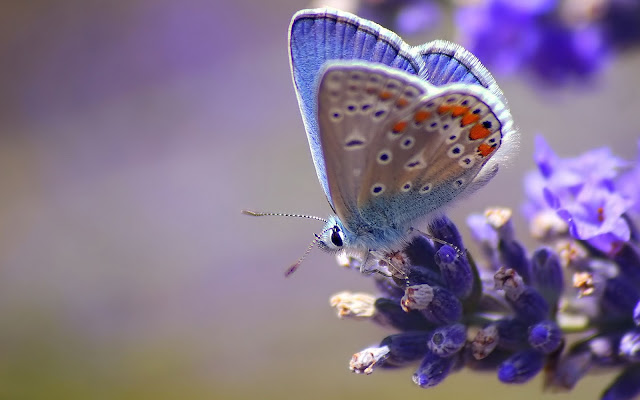 Mooie vlinder op een paarse bloem