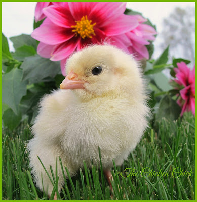 This is a healthy chick, alert and standing upright with bright eyes.