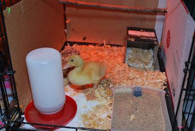 brooder duckling