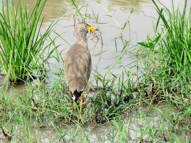 African Wattled Lapwing in Uganda