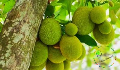 Benefits of eating jackfruit,কাঁঠাল খাওয়ার উপকারিতা।