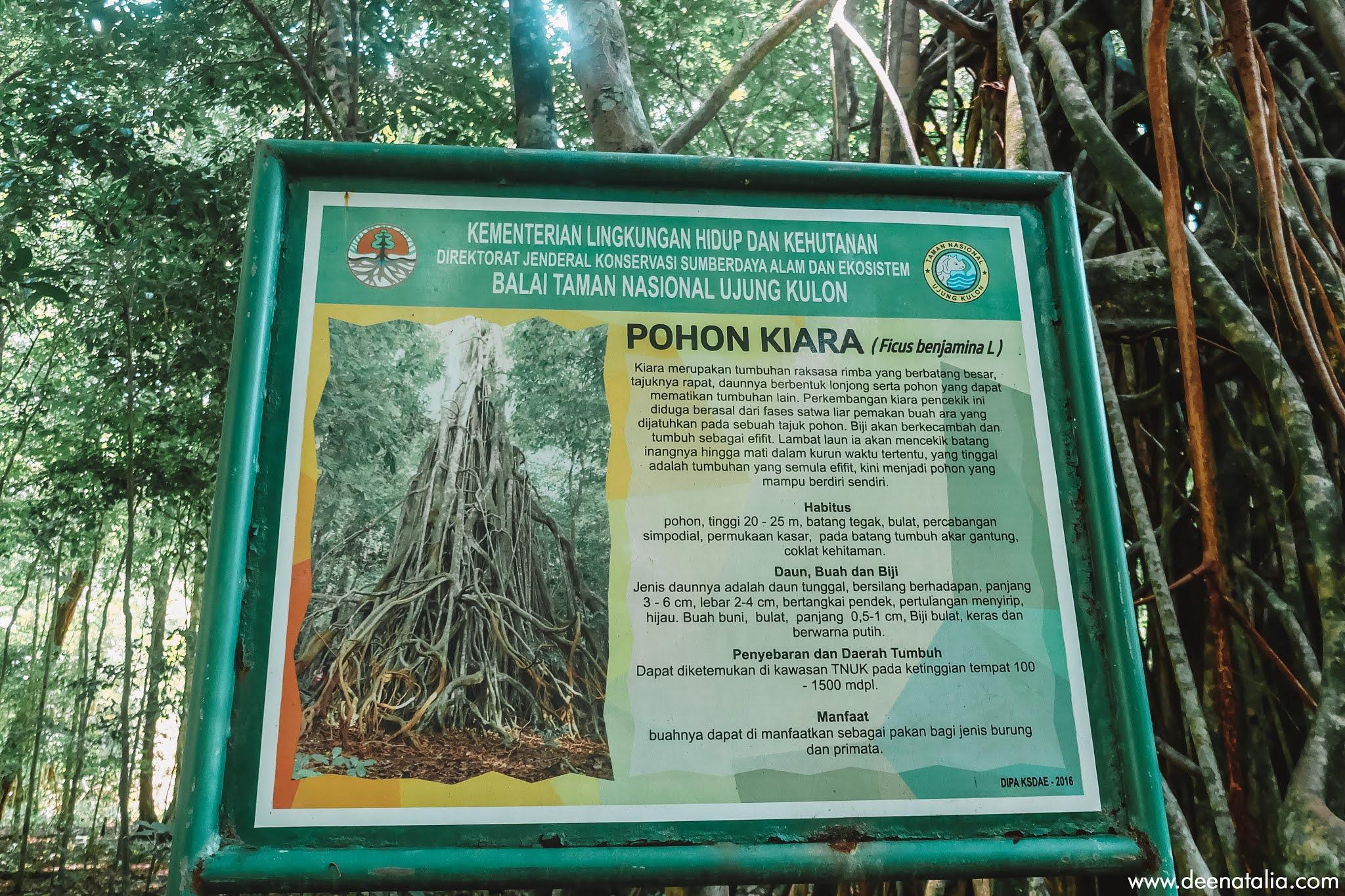 Pohon Kiara Karang Copong Ujung Kulon