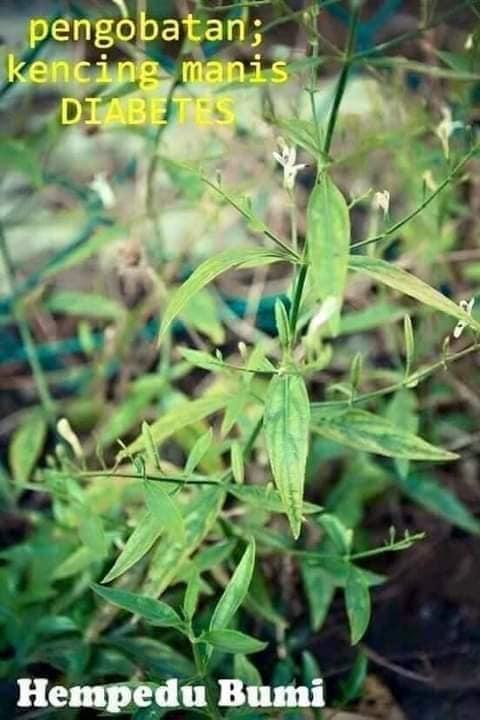 hempedu bumi pokok khasiat penawar penyakit
