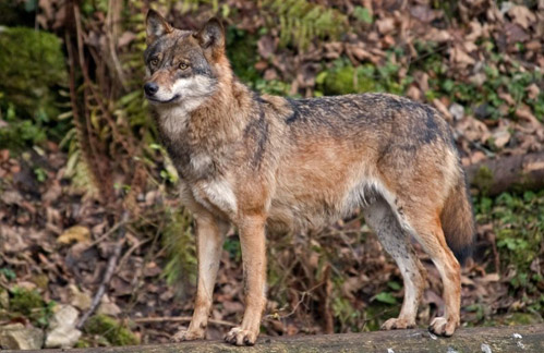 Animals Plants Rainforest Eurasian Wolf And Italian Wolf