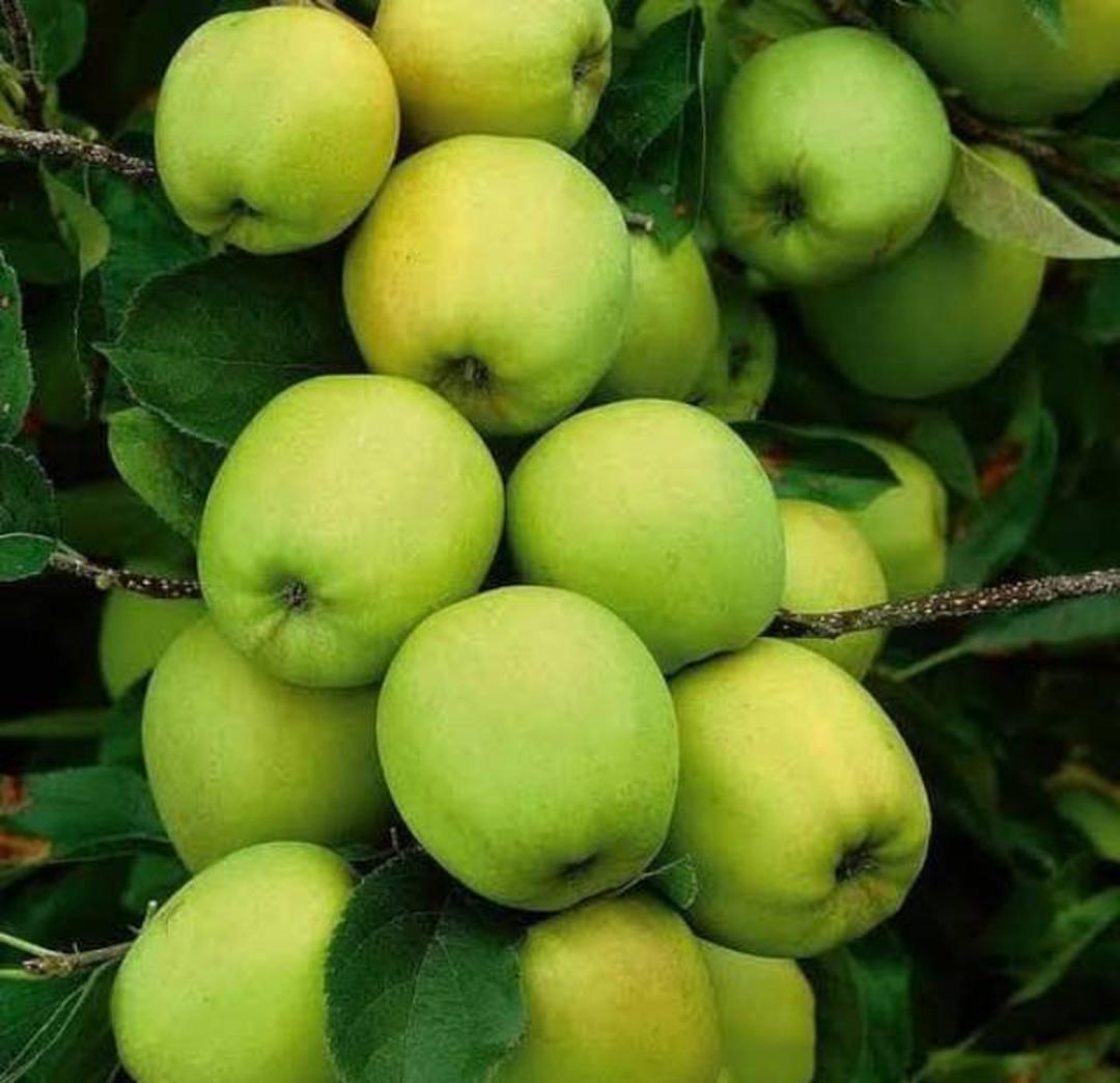 Stok melimpah! Bibit buah apel manalagi super Bibit hasil stek batang Kota Bandung #bibit buah genjah murah