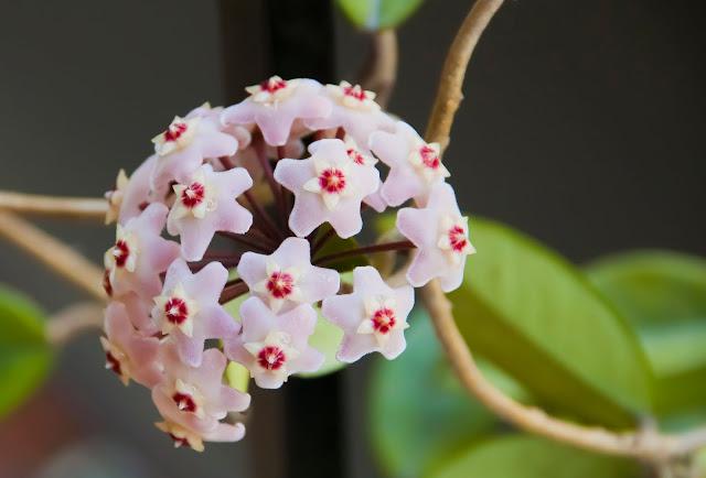 Foto flor de Clepia.