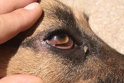 obat sakit mata anjing