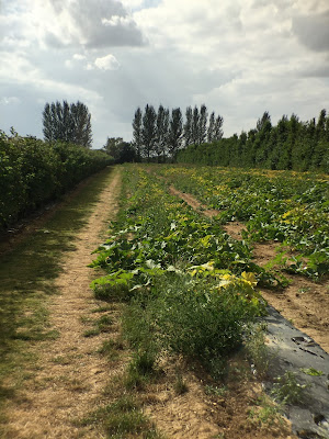 Photograph of a pumpkin patch taken in August using the polarising filter
