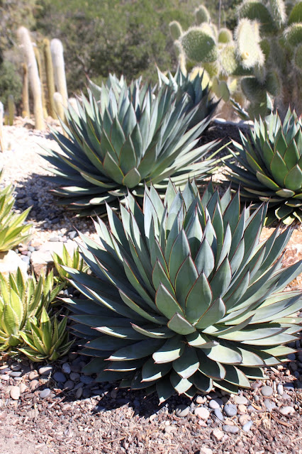 """Normally looking Agave """"Blue Glow"""""""