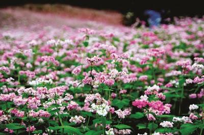 Hà Giang đẹp rạng rỡ với lễ hội hoa tam giác mạch 4