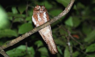 Spangled Owlet nightjar
