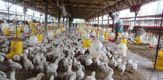 Harga Jual Ayam Anjlok, Para Peternak Ayam Bakal Serbu Gedung Kementerian Pertanian