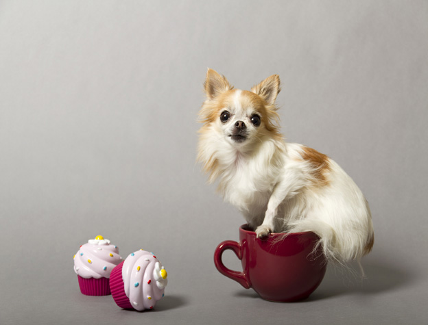 Smallest Dog World Guinness 2013