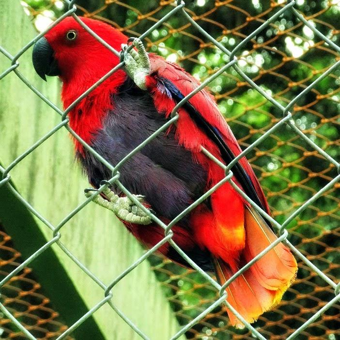Papagaio ecletus está à espreita na grade