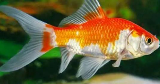 8 Tahap Cara Budidaya Ikan Komet Mudah dan Lengkap