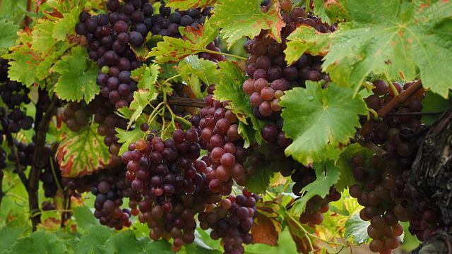 manfaat-anggur-merah-bagi-kesehatan