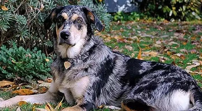 Australian Shepherd Lab Mix Dog Breed