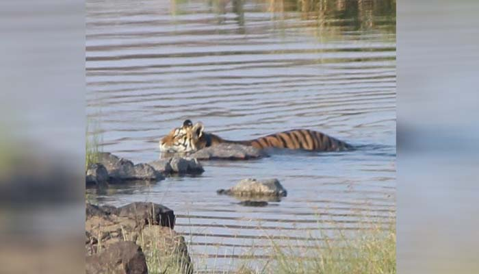 Ken-Betwa Link Project, KBLP, Panna tiger reserve, GPS Satellite collaring, tigers in Panna, Wildlife Institute of India, All 14 tigers will be collared,