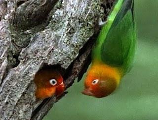 Mengetahui Lebih Dekat Kebiasaan Lovebird Di Alam Bebas
