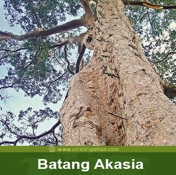 ciri ciri pohon batang akasia