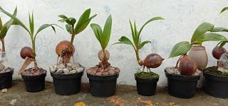 Tanaman Bonsai Kelapa Gading Yang Unik Dan Juara Airul Menulis