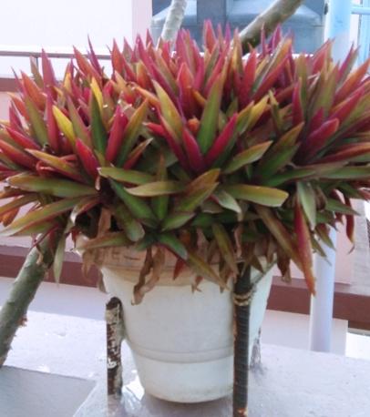 oyester plant