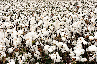 Baumwolle in der Türkei
