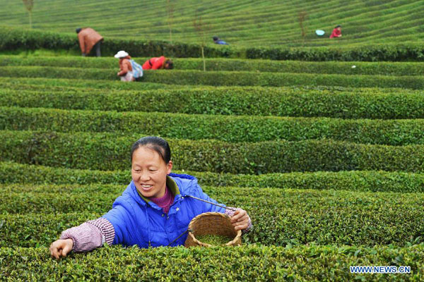 Tea Plucking by Hand