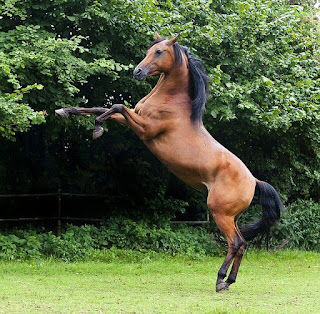 حصان الأيرلندي الأصيل