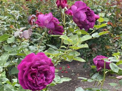 purple roses in rose garden at Lake Shrine Meditation Gardens in Pacific Palisades, California