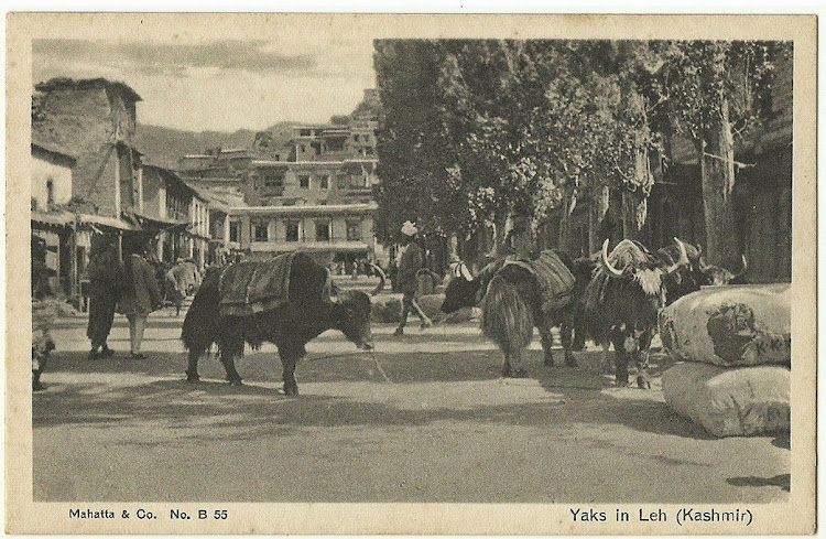 Yaks in Leh (Kashmir) - Vintage Post card, Date Unknown