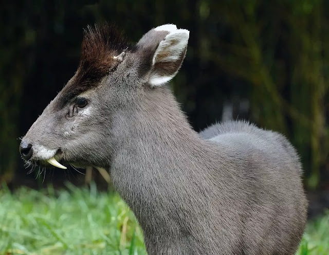 Where do tufted deers live? The tufted deer occurs across southern and south-eastern China to eastern Tibet and into northern Myanmar.