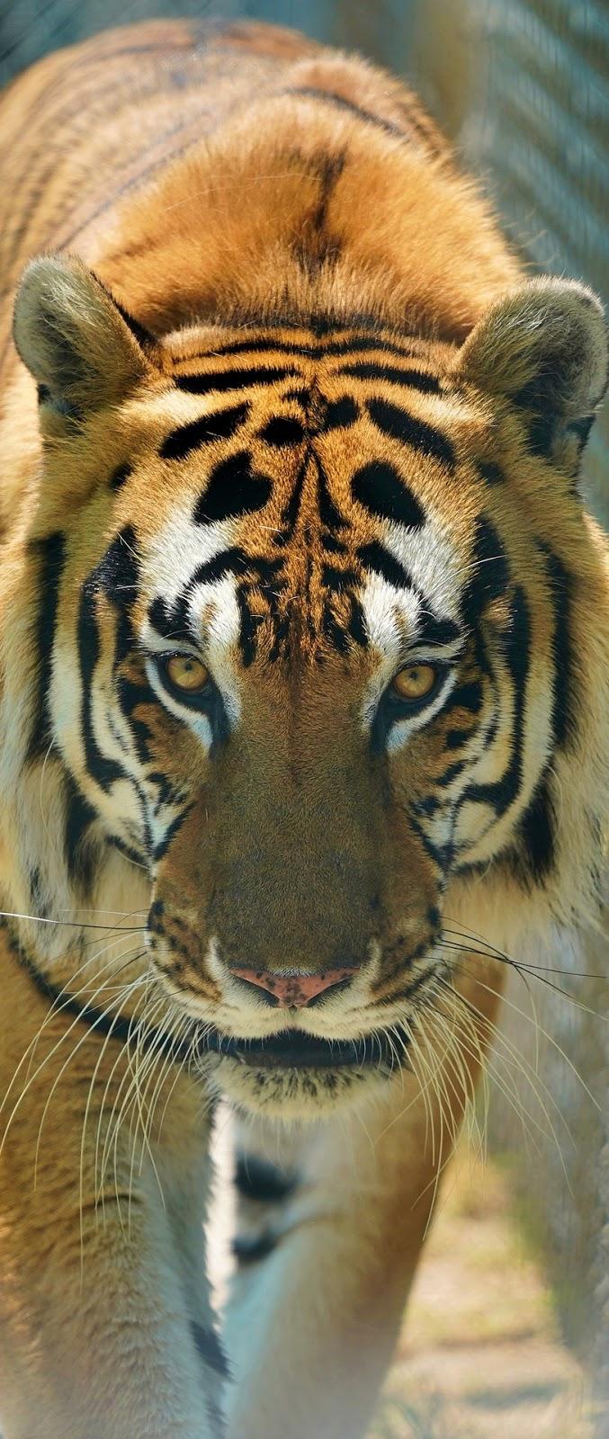 A majestic tiger.