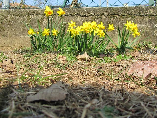 Gruppetto di Narcisi in fiore