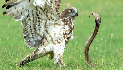 Burung elang melawan ular kobra