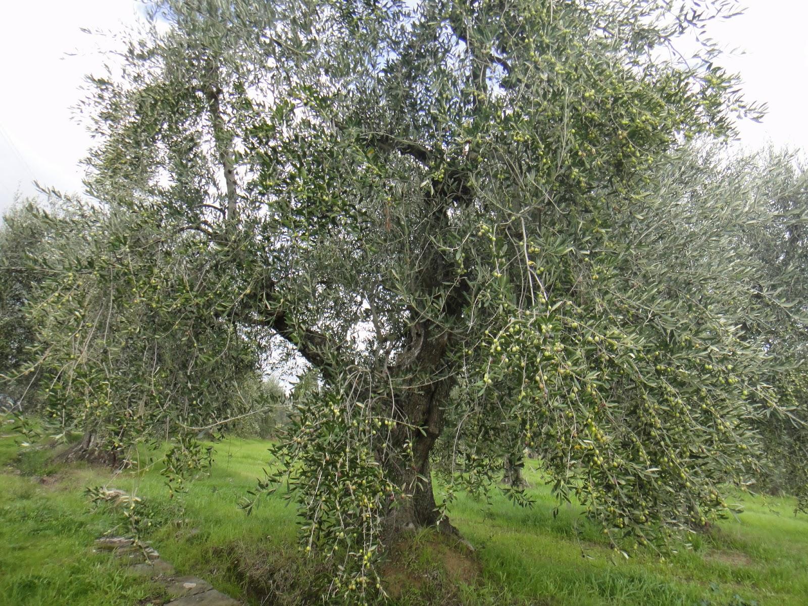oliveira pelo caminho da casa de Leonardo da Vinci
