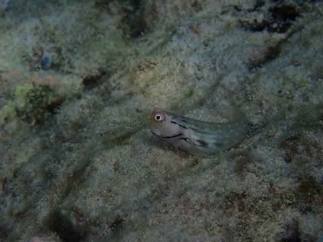 Ecsenius yaeyamaensis