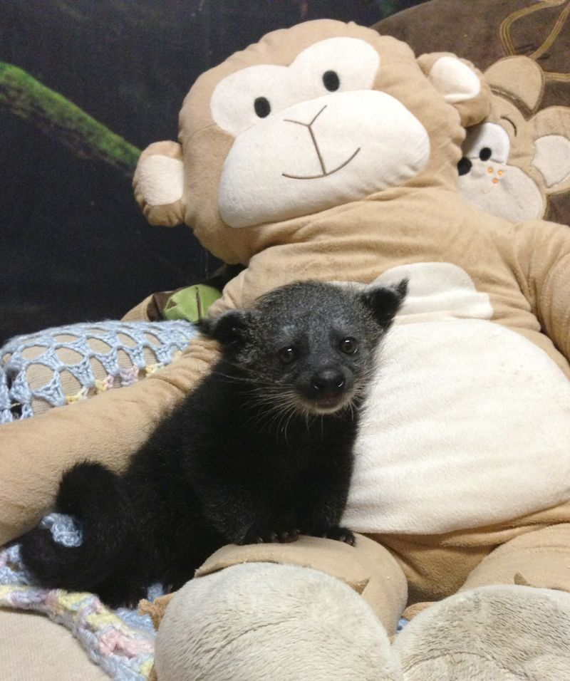 Baby Animals: Baby Binturong 3