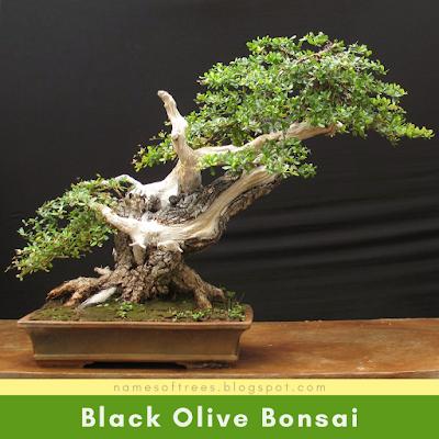 Black Olive Bonsai