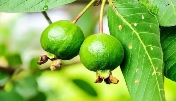 أوراق الجوافة لعلاج الإسهال